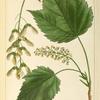 Mountain Maple (Acer montanum).