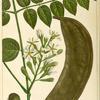 Coffee Tree (Gymnocladus canadensis).
