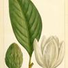 Large Magnolia or Big Laurel (Magnolia grandiflora).