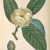 Small Magnolia or White Bay (Magnolia glauca).