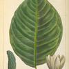 Cucumber Tree (Magnolia acuminata).