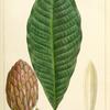 Umbrella Tree (Magnolia tripetala).