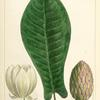 Long-leaved Cucumber Tree (Magnolia auriculata).