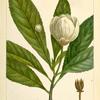Loblolly Bay (Gordonia lasyanthus).