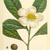 Franklinia (Gordonia pubescens).