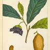 Papaw (Annona triloba).