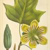 Poplar or Tulip Tree (Lyriodendrum tulipifera).