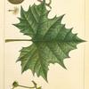 Button Wood (Platanus occidentalis).