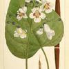 Catalpa (Bignonia catalpa).