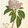 Mountain Laurel (Kalmia latifolia).
