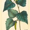 White Birch (Betula populifolia).