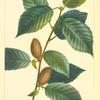 Yellow Birch (Betula lutea).