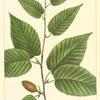 Black Birch (Betula lenta).