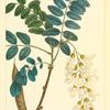 Locust (Robinia pseudo acacia).