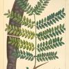 Sweet Locust (Gleditsia triacanthos).