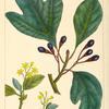 Sassafras (Laurus sassafras).