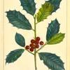 American Holly (Ilex opaca).