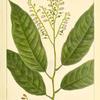 Sorel Tree (Andromeda arborea).