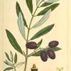 Olive Tree (Olea Europæa).