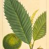 American Chesnut (Castanea vesca).