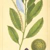 Chincapin (Castanea pumila).