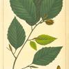 White Beech (Fagus sylvestris).