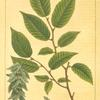 Hornbeam (Carpinus virginiana [Carpinus americana]).