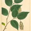 Iron Wood (Carpinus ostrya).