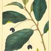 Black Gum (Nyssa sylvatica).