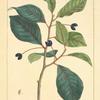 Tupelo (Nyssa aquatica).