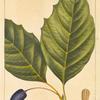 Large Tupelo (Nyssa grandidentata).