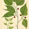American Nettle Tree (Celtis occidentalis).
