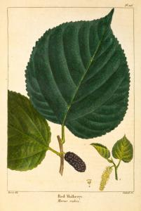 Red Mulberry (Morus rubra).