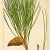 Red Pine (Pinus rubra).