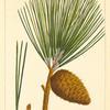 Pitch Pine (Pinus rigida).