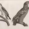 Zoologie. Oiseau. 1. Aigle criard (Aquila nævia), jeune; 2. Élanoïde blac (Elanus cæsius).