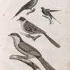 Zoologie. Oiseau. 1. Coucal houhou (Centropus Ægyptius); 2. Coua noir et blanc (Coccyzus Pisanus); 3. Guépier Savigny (Merops Savignyi); 4. Hirondelle de Riocour (Hirundo Riocourii).