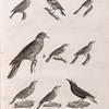 Zoologie. Oiseau. 1. Traquet coureur (Saxicola cursoria); 2. Fauvette grisette (Silvia cinerea); 3. Fauvette babillarde (Solvia curruca); 4. Fauvette pinc-pinc (Silvial tetrix); 5. Pipi de Coutelle (Anthus Coutellii); 6. Pipi de Cécile (Anthus Cecilii); 7. Moineau Cisalpin (Fringilla Cisalpina); 8. Bouvreuil de Payraudeau (Pyrrhula Payraudæi); 9. Colombe maillée (Columba Cambayensis).