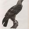 Zoologie. Oiseau. Aigle de Thèbes (Aquila heliaca).
