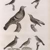 Zoologie. Oiseau. 1. Merle de roche (Turdus saxatilis); 2. Pouillot à ventre jaune (Silvia trochilus); 3. Fauvette locustelle (Silvia locustella); 4. Fauvette des joncs (Silvia schœnobænus); 5. Pipi des arbres (Anthus arboroeus); 6. Alouette cochevis (Alauda cristata); 7. Pigeon colombin ou de roche (Columba œnas).