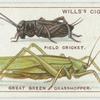 Do you know how crickets and grasshoppers chirp?