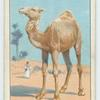 Do you know why the camel has a hump?