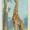 Do you know why a giraffe has a long neck?