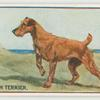 Irish terrier