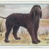 Irish water spaniel.