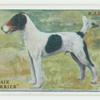 Wire-hair fox terrier.