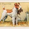 Wire Fox Terrier.
