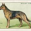 Alsation (German Shepard Dog).