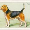 Beagle.
