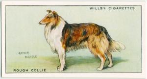 Rough Collie.